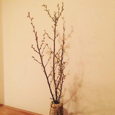 早咲きの桜「着物と桜と日本人」